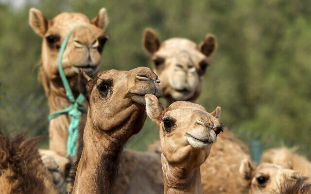 This picture taken on June 4, 2021 shows a view of cloned camel calves in a pen at the Reproductive Biotechnology Center in Dubai (Karim SAHIB / AFP)