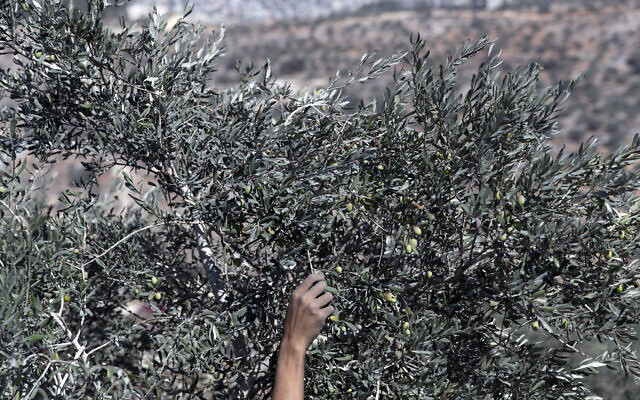 Illustrative: A volunteer harvests olives during a Palestinian Authority campaign to help farmers targeting Palestinian lands that are adjacent to Israeli settlements and outposts, during the olive harvest season, in the West Bank village of Beita, east of Nablus, October 10, 2021. (AP Photo/Nasser Nasser)