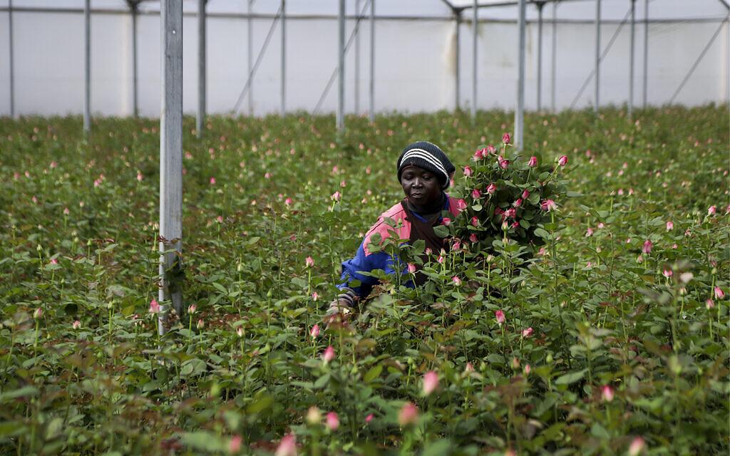 A farm worker cuts roses to be thrown away due to a pandemic market slump at Maridadi Flowers farm in Naivasha, Kenya, March 19, 2020. (AP Photo/Patrick Ngugi)