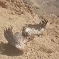 Scren capture from video of a dead griffon vulture found in the Judean Desert, October 27, 2021. (Srugim)