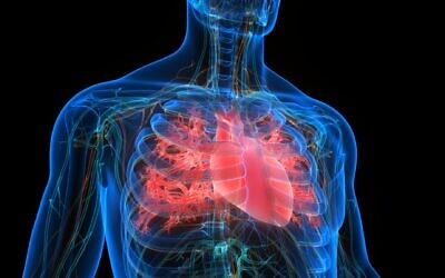 Illustration of a human heart (magicmine; iStock by Getty ImageS)